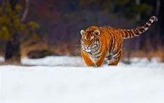 Download wallpapers tiger, predator, wildlife, young tiger, snow, winter, wild cat
