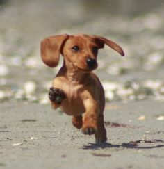 Cute Picture | Puppy | Dachshund Running on the Beach | Cutearoo ...