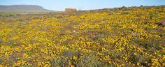 Flower Season at Tankwa Karoo National Park, South Africa www.sanparks.org Aboriginal Art, Monet, South Africa, National Parks, Mountains, Flowers, Plants, Painting, Travel