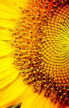 sunflower Macro Flower, Sunflower Wallpaper, Beautiful Flowers Garden, Yellow Submarine, Gerbera, Mellow Yellow, Nature Pictures, My Favorite Color, Sunflowers