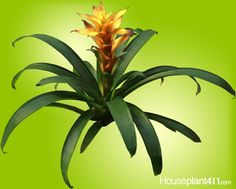 How to keep #Bromeliad #houseplants blooming longer. http://www.houseplant411.com/askjudy/how-do-i-keep-my-bromeliad-plants-blooming-longer