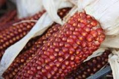 "CORN * HEIRLOOM SEEDS 2014 Floriani Red Flint Corn (Zea mays) is a rare Italian heirloom prized by chefs and homesteaders alike. The flavor is unforgettable, with a rich, slightly sweet, distinct taste and texture.The ears can grow to 8.5"" long with 15-16 rows. You'll get one ear per stalk, sometimes two depending on soil nutrition and such. It is also one of the earliest flint corns you can grow, so perfect for Northern gardeners. 100 days. 50 Seeds."