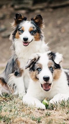 Aussie Pals. My Aussie looks just like one with ears pointed upwards.