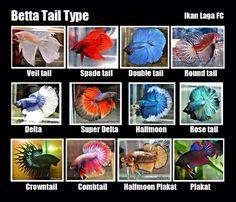 Tail Types | Betta Fish