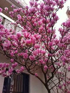 Queridos amigos,   Não é a primeira vez que falo aqui na  Magnolia x soulangena ..mas chega esta época do ano em que elas começam em flor e...