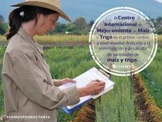 El Centro Internacional de Mejoramiento de Maíz y Trigo es el primer centro a nivel mundial dedicado a la investigación y desarrollo de variedades de maíz y trigo. SAGARPA SAGARPAMX #SOMOSPRODUCTORES