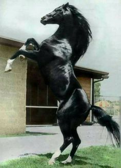 Black Horse 43