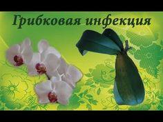 Гниль - грибковая инфекция на шейке Фаленопсиса!((((