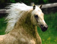Dappled palomino Morgan stallion - photo by Jericho Creek Farm