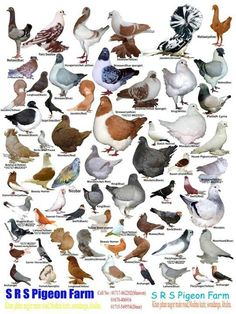 Pigeons Around The World