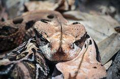 Taken at the San Diego Zoo, California Gaboon Viper, The Venom, San Diego Zoo, Snakes, Reptiles, Parrot, Wolf, Creatures, California