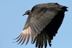 Black Vulture In Flight