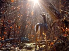 I happened upon this beautiful whitetail doe while hiking along the Centerpoint Trail near Ponca, Arkansas. She was standing along the rocky path, poised in the sunlight that was bursting through the trees above. I readied my camera and tripod as quickly and quietly as possible and was lucky enough to capture the magic moment before she continued down the trail, eventually crossing into the forest —Jeff Rose