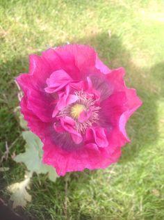 Pink fluffy poppy