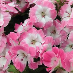 Regal Geranium 'Bermuda Rose Pink' Pelargonium