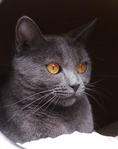 Chartreux. -  Always have gold eyes.