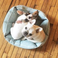 French Bulldogs, Cuddles, Tgif, Happy Friday, Ava, More Fun, Cute, Animals, Animaux