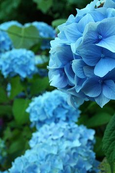 33 Ideas Wedding Flowers Blue Hydrangea Style For 2019 Hortensia Hydrangea, Hydrangea Garden, Blue Hydrangea, Amazing Flowers, Beautiful Flowers, Blue Wedding Flowers, Wedding Plants, Wedding Bouquet, Blue Garden