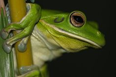 Green Tree Frog (3) by Joanne Ottey on 500px
