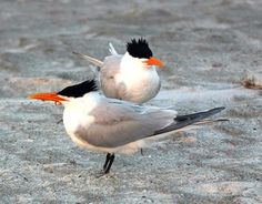 Google Image Result for http://www.thedailygreen.com/cm/thedailygreen/images/7q/bp-gulf-oil-spill-birds-royal-terns-de.jpg