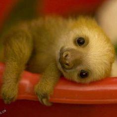 A baby sloth! I dunno if anything beats that!!❤️❤️❤️❤️❤️ Good Morning!