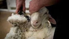 Today I learned New Zealand hosts world competitions for sheep shearing. The country in which sheep outnumber people 10 to 1 voted in 2012 for the event to become an Olympic sport. Sheep Shearing, Olympic Sports, Wool, Country, People, Image, Rural Area, Country Music, People Illustration