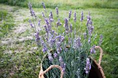 This new Sensational Lavender is the next generation of Phenomenal Lavender. The large thick lavender flowers grow on extra sturdy stems.  Beautiful thick silver foliage provides the base for dense branching stems topped with sweet lavender buds. The Sensational Lavender has extremely good heat and humidity tolerance and is cold tolerant. Hardy in zones 5 to 9.   The New Sensational Lavender blooms provide sweet lavender floral fragrance with low camphor.  Plants are grown and shipped (to… Fast Growing Plants, Growing Flowers, Lavender Buds, Lavender Flowers, Beneficial Insects, Cottage Gardens, Autumn Garden, Stems, Backyard Landscaping