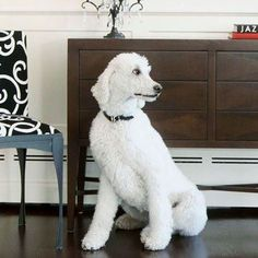 Poodles - Like schnauzers, poodles come in three sizes: toy, miniature, and standard (small, medium, and large). These incredibly smart dogs don't shed, but they do need regular grooming. Easily trainable, poodles are excellent dogs for families with kids. #groomer #dogs #pets