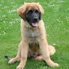 Top 10 dogs that look like lions