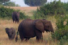 Olifanten in het wild zijn wel de dieren die de grootste indruk op me hebben gemaakt. In Zuid-Afrika maar hier ook in Oeganda. #photography #travelphotography #fotografie #canonnederland #canon_photos #panasonic #travelling #reizen #reisjournalist #travelwriter #fotoworkshop #willemlaros.nl #reisfotografie #tw #fb #compositie #natuurfotografie #nature #africa #fb