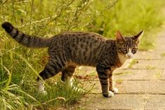 Facts on a Tabby cats Personality including information on mackerel orange & grey kinds!