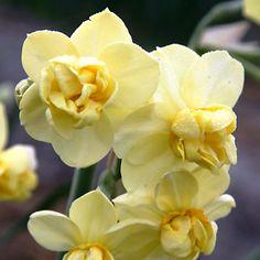 Narcissus 'Yellow Cheerfulness' Jumbo Bulbs