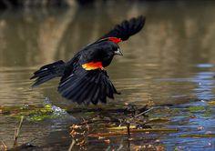 Red-winged Blackbird (Agelaius phoeniceus) german wings :-) picking up floatinf pecan bits Sea Birds, Wild Birds, Red Wing Blackbird, Reference Photos For Artists, Backyard Birds, Bird Pictures, Bird Species, Bird Watching, Beautiful Birds