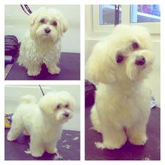 Corte de pelo para cachorros poodle