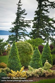 1203791 Conical Dwarf Alberta Spruce, Japanese Maple w/ spreading conifers fgnd, Douglas-firs bkgnd [Picea glauca 'Conica'; Acer