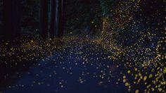 long-exposure-photos-of-fireflies-at-night-tsuneaki-hiramatsu-10.jpg