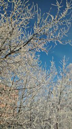 Trees Frozen in Maine