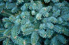 Abies koreana Blue Emperor Korean Pine grafted pot for bonsai Clematis Nelly Moser, Abies Koreana, Wholesale Nursery, Flowering Shrubs, Blue Leaves, Plant Nursery, Bonsai, Emperor, Plant Leaves