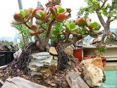 Crassula ovata Bonsaï Succulent Bonsai, Succulent Ideas, Rare Succulents, Planting Succulents, Crassula Ovata, Cactus, Jade Tree, All About Plants, Green Zone