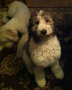 Oreo: A year in the life of a Parti poodle