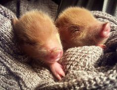 ginger piggies!