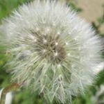 Dandelion, Photo And Video, Flowers, Plants, Instagram, Dandelions, Plant, Taraxacum Officinale, Royal Icing Flowers