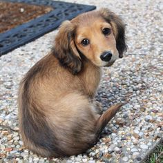 English Cream Longhaired Miniature Dachshunds Splendor Farms