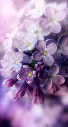 Lilac – the spring – color-type bloom! Lilac (color pass numbers Kerstin Tomancok Color, type, style & image consultation - All About Lilac Flowers, My Flower, Beautiful Flowers, Flower Close Up, Spring Flowers, Beautiful Things, Bloom, Lilac Blossom, Spring Blossom