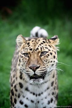 This is Xizi, a female Amur Leopard at WHF Big Cat Sanctuary. Amur Leopards are probably the rarest and most endangered big cat in the world. They are truly stunning cats to be...