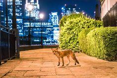 Una volpe in città – Londra Correlati