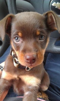 Min Pins are said to be some of the sweetest dogs ever! Just look at how adorable! I want/need! Lol