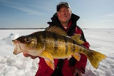 Photo by Bill Lindner/Lindner Imagery Jigging up perch in the dead of winter can be fun, but hauling up 14-inch fatties is sheer euphoria. At times, icefishing for perch can be ridiculously easy, due largely to their voracious appetite. Indeed, catching a bucketful of dinks is often mere child's play. That is not the case with big fish. When these so-called sumo perch start to chew, I become a man on a mission.