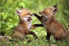 Foxes playing.