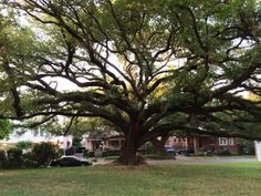 New townhouse community centered around a 300-year-old oak tree: Houston's nature development?